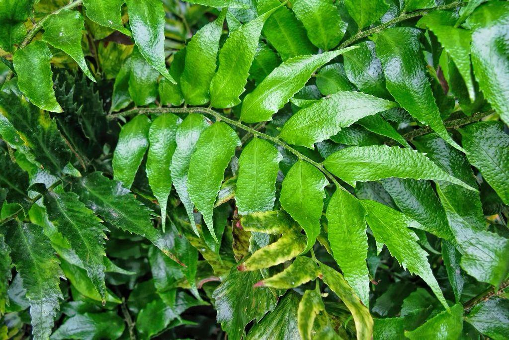 Cyrtomium falcatum-rq-20090219-1c.jpg