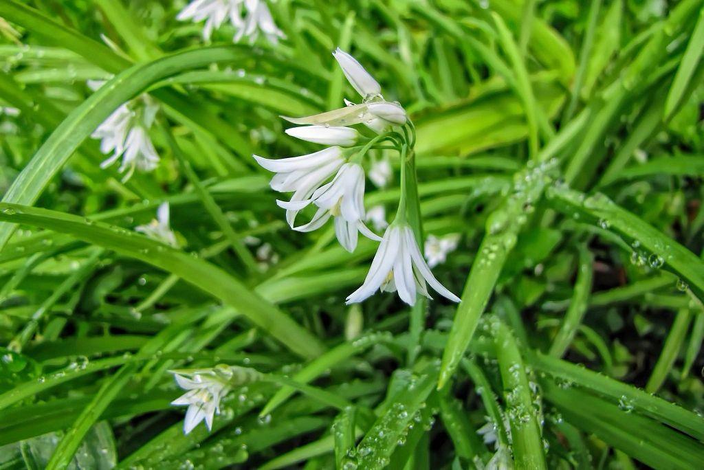 Allium triquetrum-rq-20140314-1b.jpg