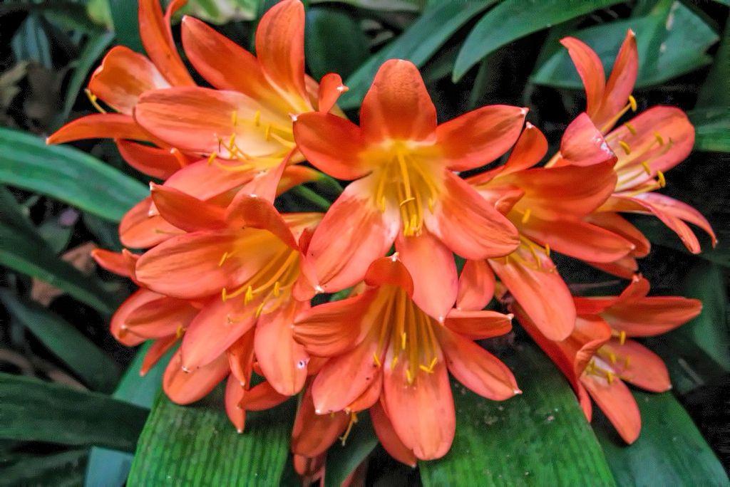 Clivia miniata-rq-20071115-1a.jpg