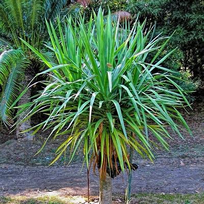 Dracaena draco  subsp.  draco