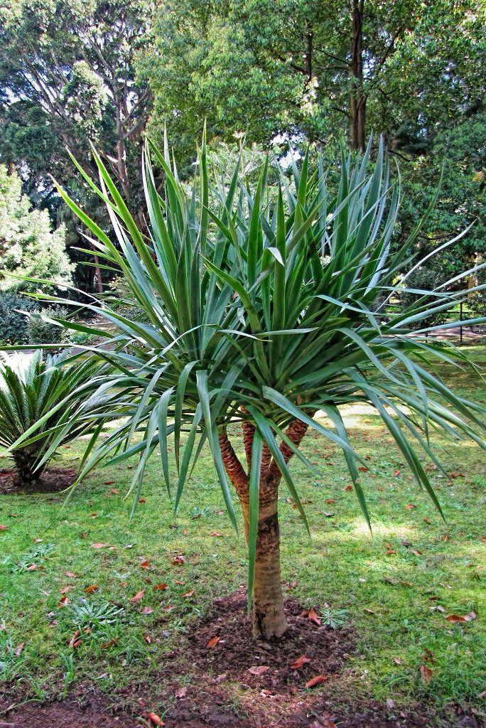 Dracaena draco subsp draco-rq-20140316-1b.jpg