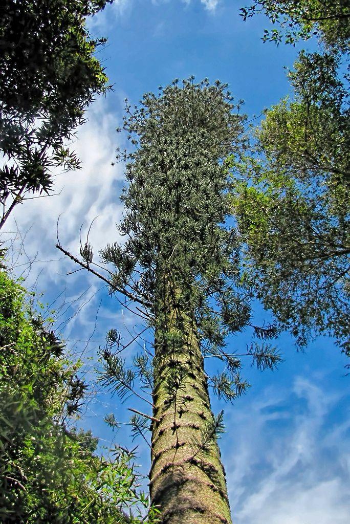 Araucaria columnaris-rq-20140314-1a.jpg
