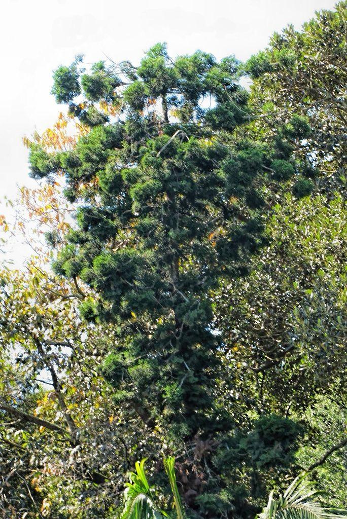 Araucaria cunninghamii-rq-20140316-1c.jpg