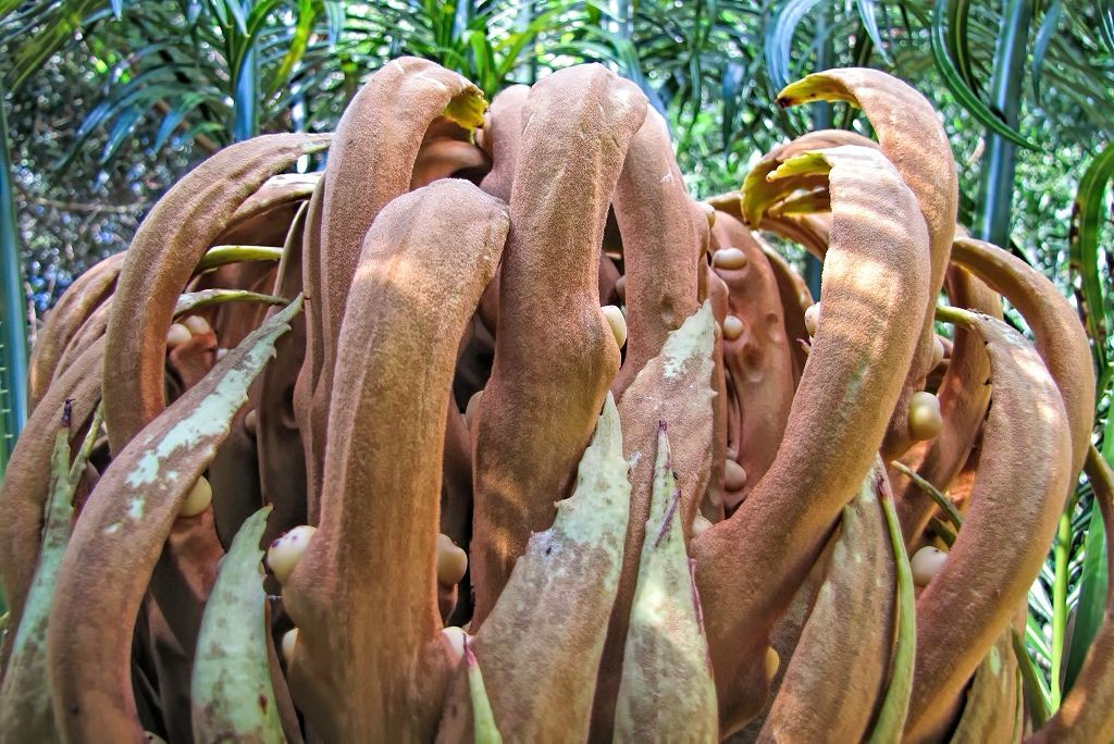 Cycas circinalis-rq-20140316-2b.jpg