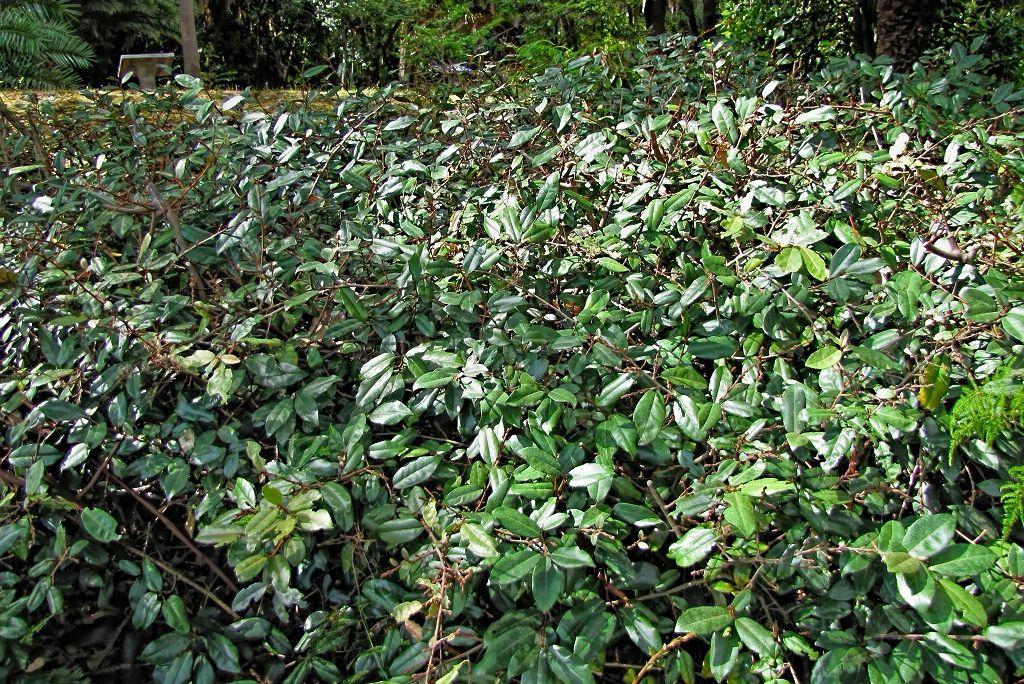 Elaeagnus pungens-rq-20130914-1a.jpg