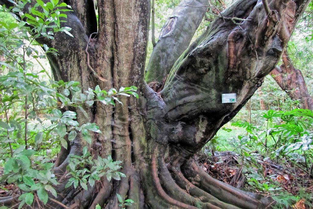 Elaeocarpus decipiens-rq-20140110-2c.jpg