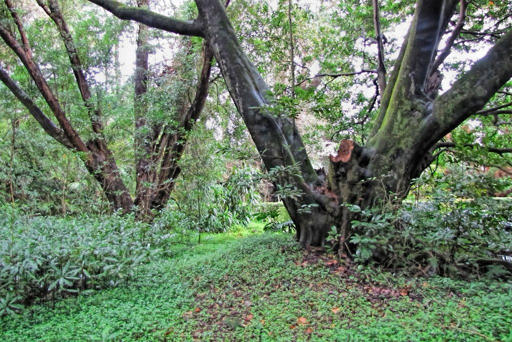 Elaeocarpus decipiens-rq-20140110-1p.jpg