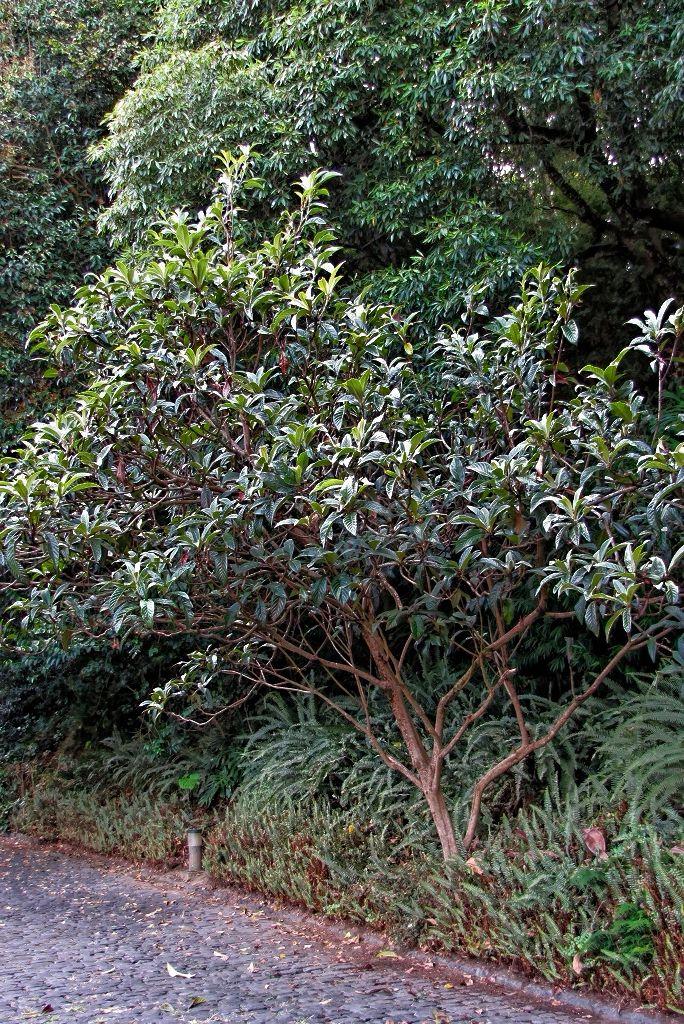 Eriobotrya japonica-rq-20130915-1a.jpg