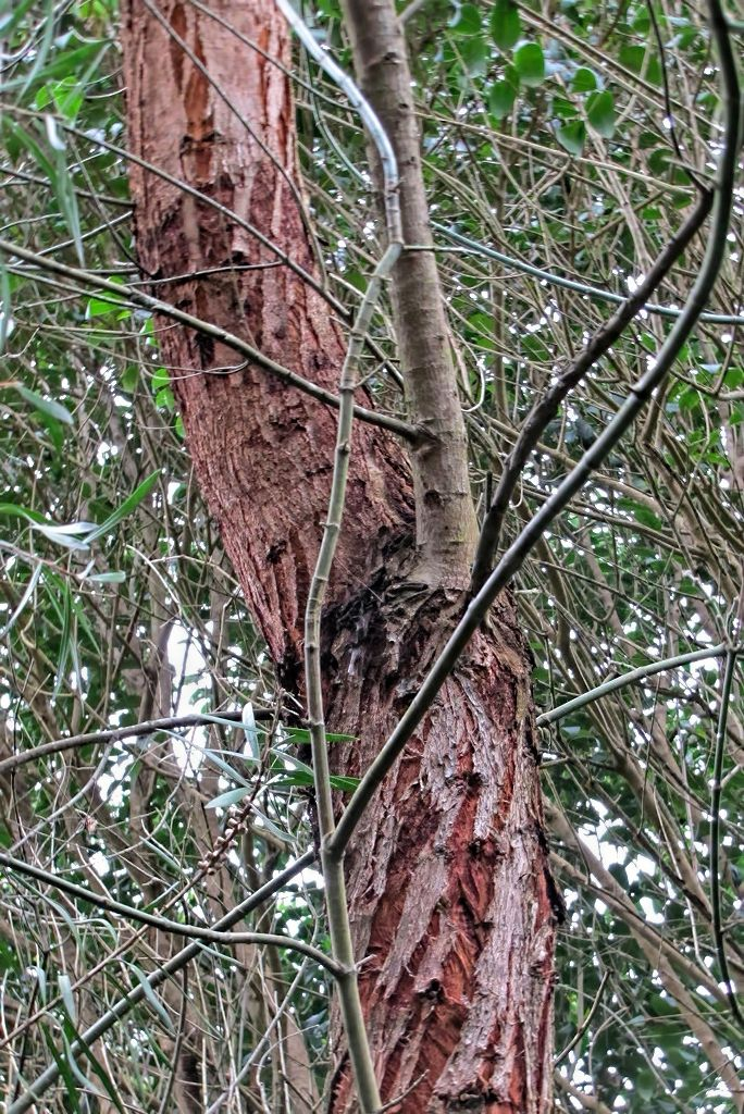 Eucalyptus gunnii-rq-20140109-1a.jpg