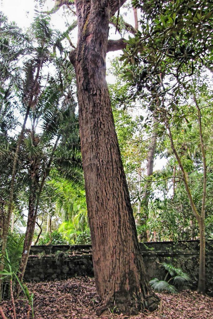 Eucalyptus robusta-rq-20140316-1q.jpg
