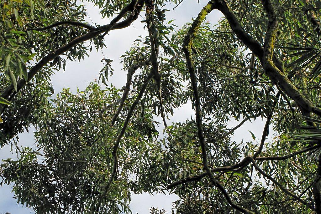 Eucalyptus robusta-rq-20140312-1e.jpg