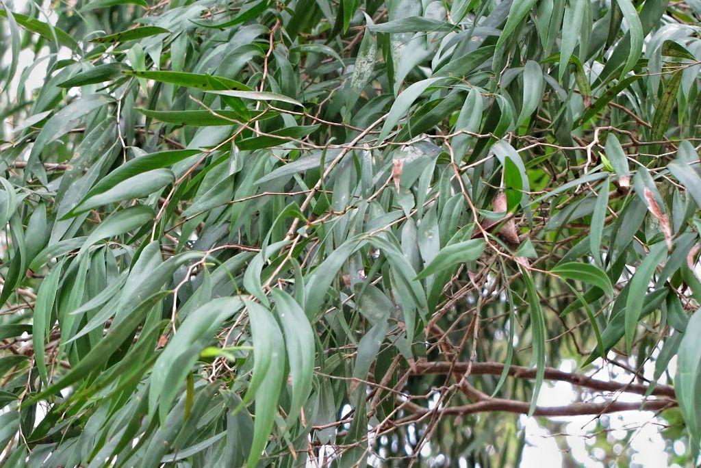 Eucalyptus sideroxylon-rq-20140312-1f.jpg