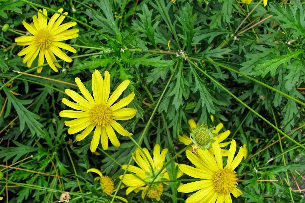 Euryops chrysantemoides-rq-20090414-1b.jpg