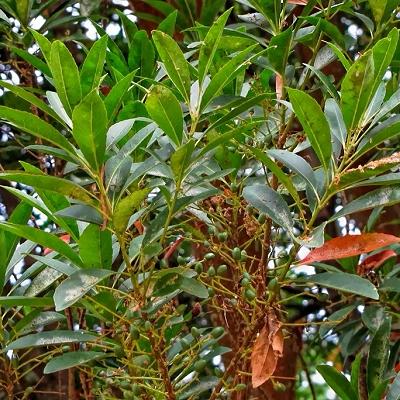 Elaeocarpus sylvestris