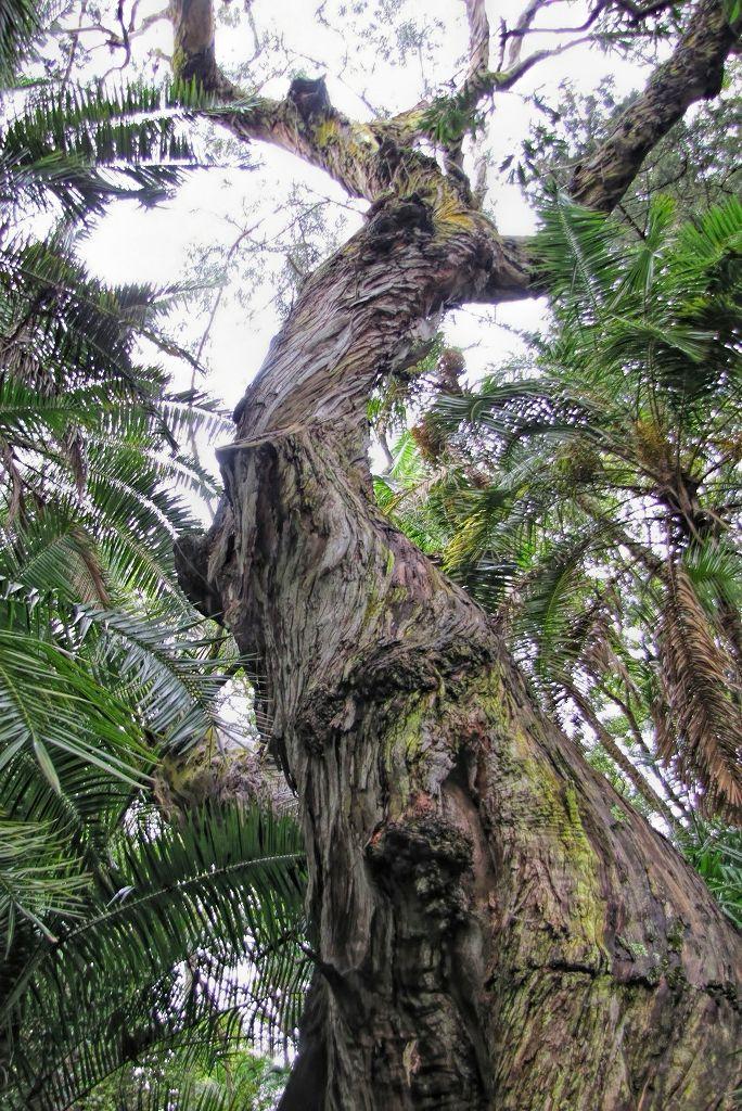 Eucalyptus delegatensis-rq-20140110-1c.jpg
