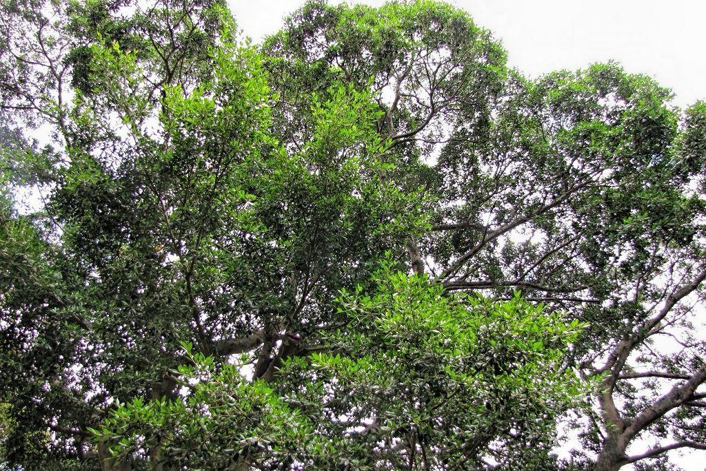 Ficus benjamina var nuda-rq-20130914-1g.jpg