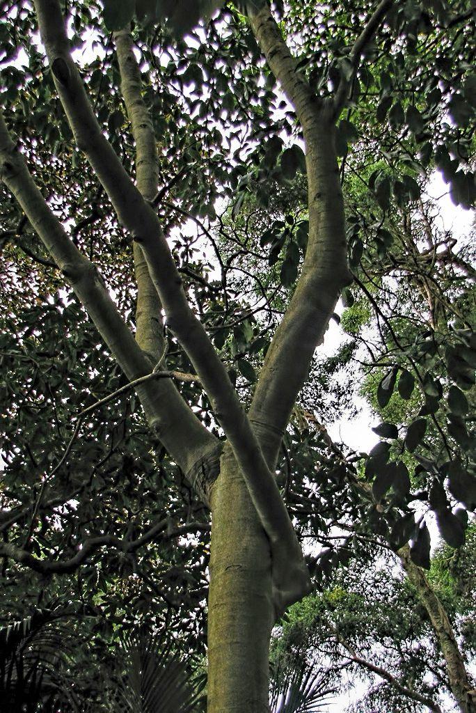 Ficus callosa-rq-20140109-1a.jpg