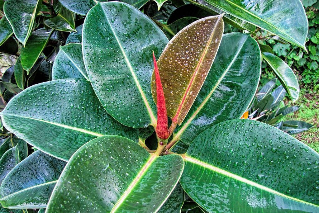 Ficus elastica-rq-20140108-1b.jpg