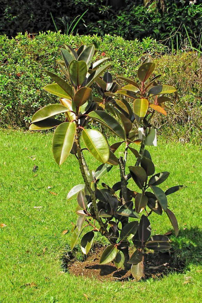 Ficus elastica burgundy-rq-20140316-1a.jpg