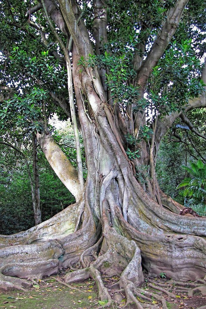 Ficus macrophylla-rq-20140113-1p.jpg