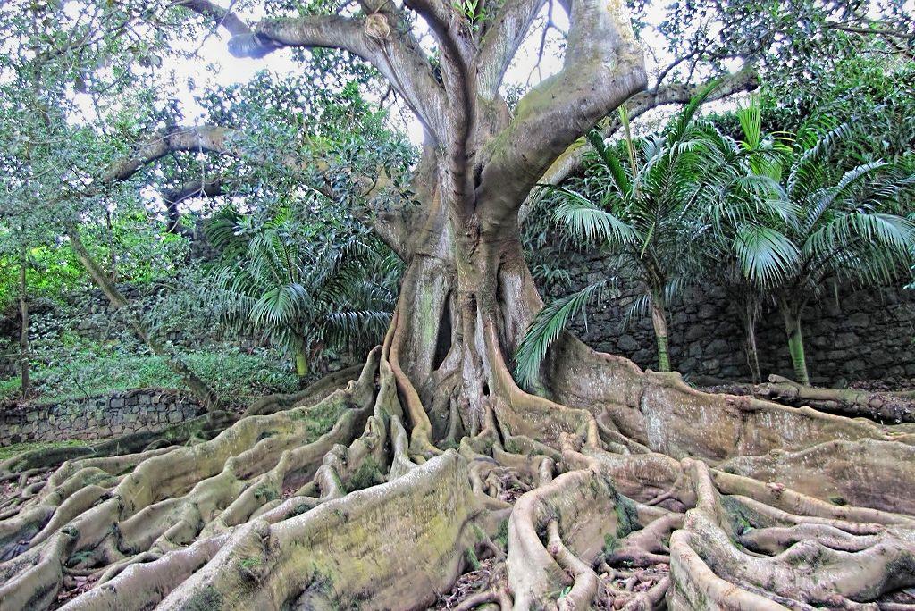 Ficus macrophylla-rq-20140109-1g.jpg