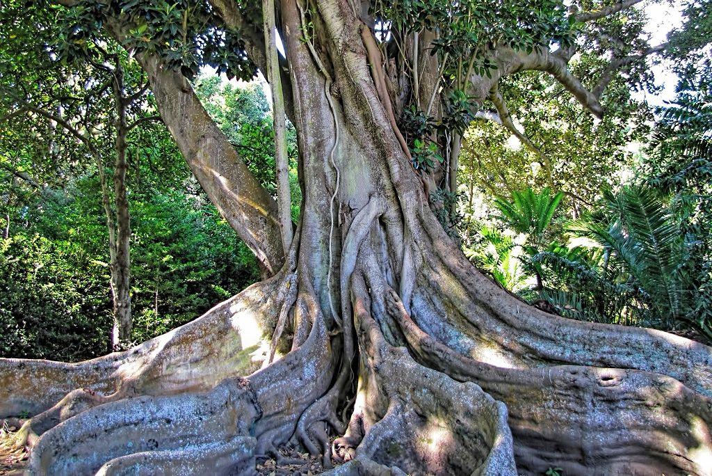 Ficus macrophylla-rq-20130914-5d.jpg