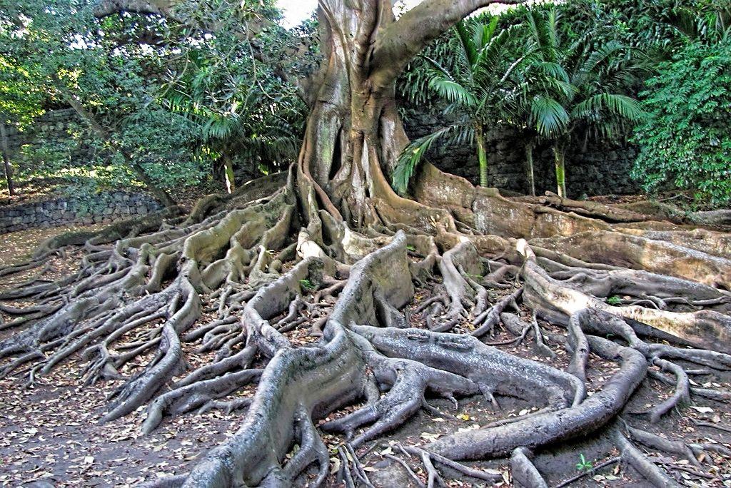 Ficus macrophylla-rq-20130914-3c.jpg