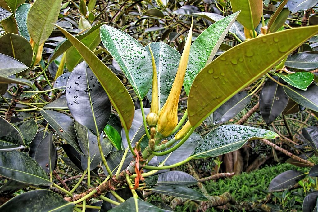 Ficus macrophylla-rq-20130914-1p.jpg