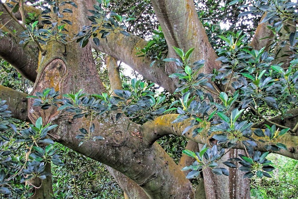 Ficus macrophylla-rq-20130914-1r.jpg