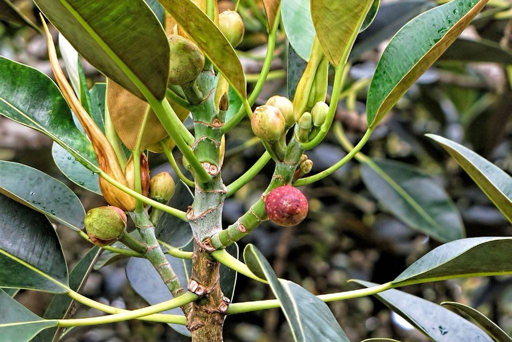 Ficus macrophylla-rq-20130914-1g.jpg