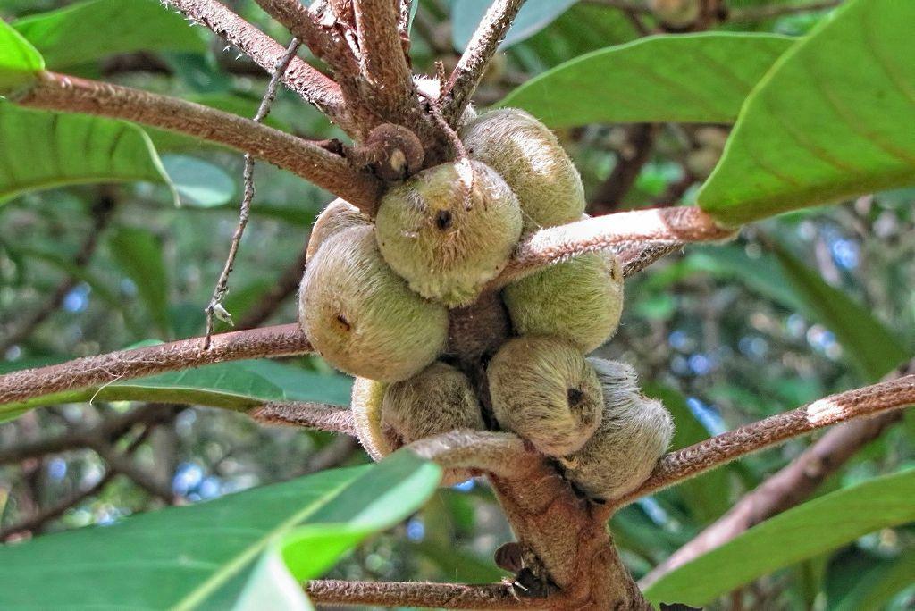 Ficus saussureana-rq-20140113-1e.jpg