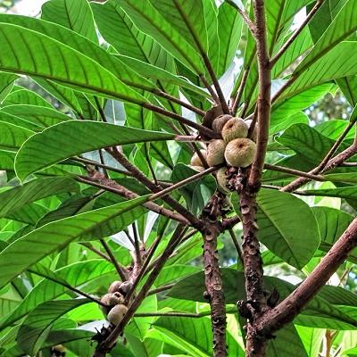 Ficus saussureana