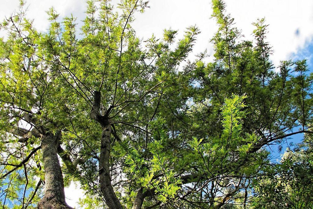 Grevillea robusta-rq-20130914-1b.jpg