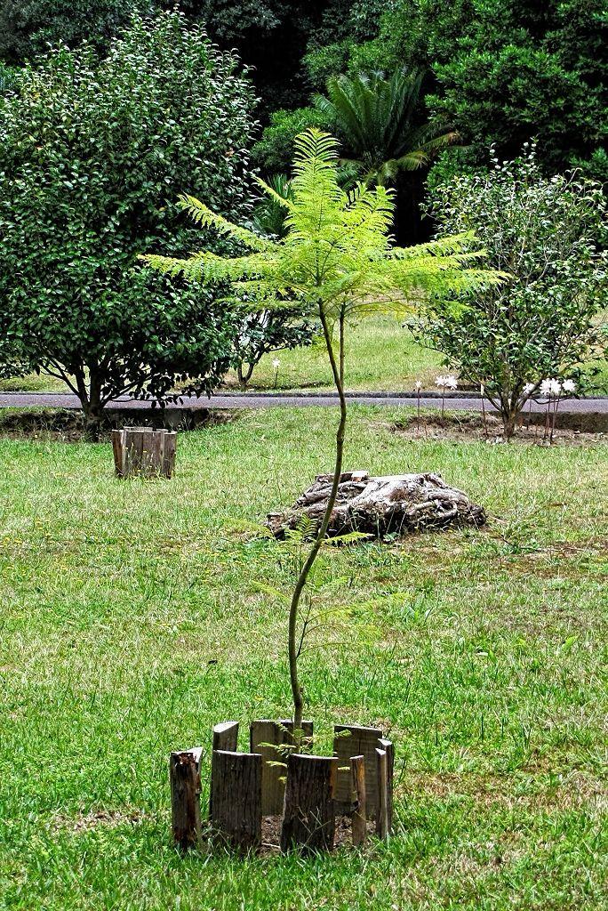 Jacaranda mimosifolia-rq-20130915-1a.jpg