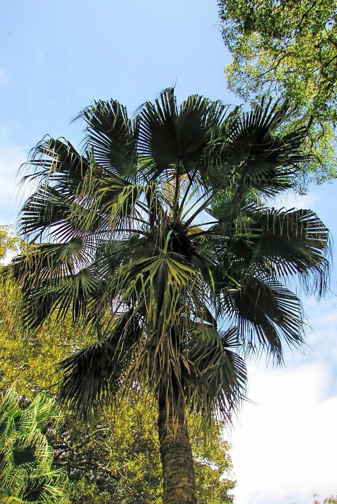 Livistona chinensis-rq-20140316-1m.jpg
