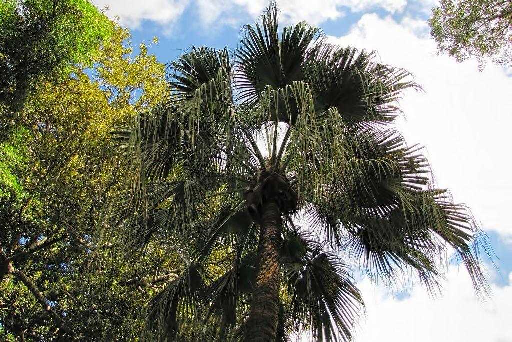 Livistona chinensis-rq-20140113-1j.jpg