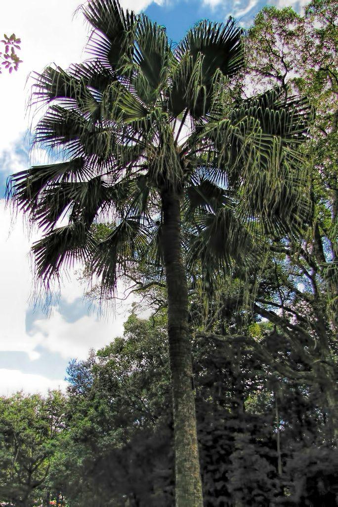 Livistona chinensis-rq-20140113-1a.jpg