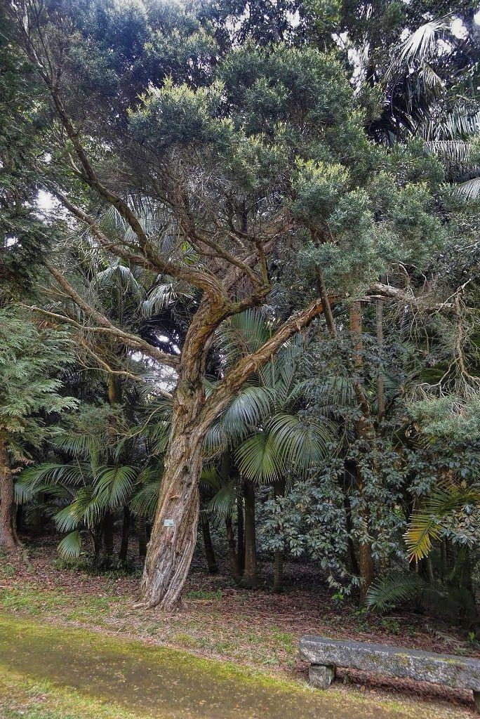 Melaleuca linarifolia-rq-20140508-1c.jpg