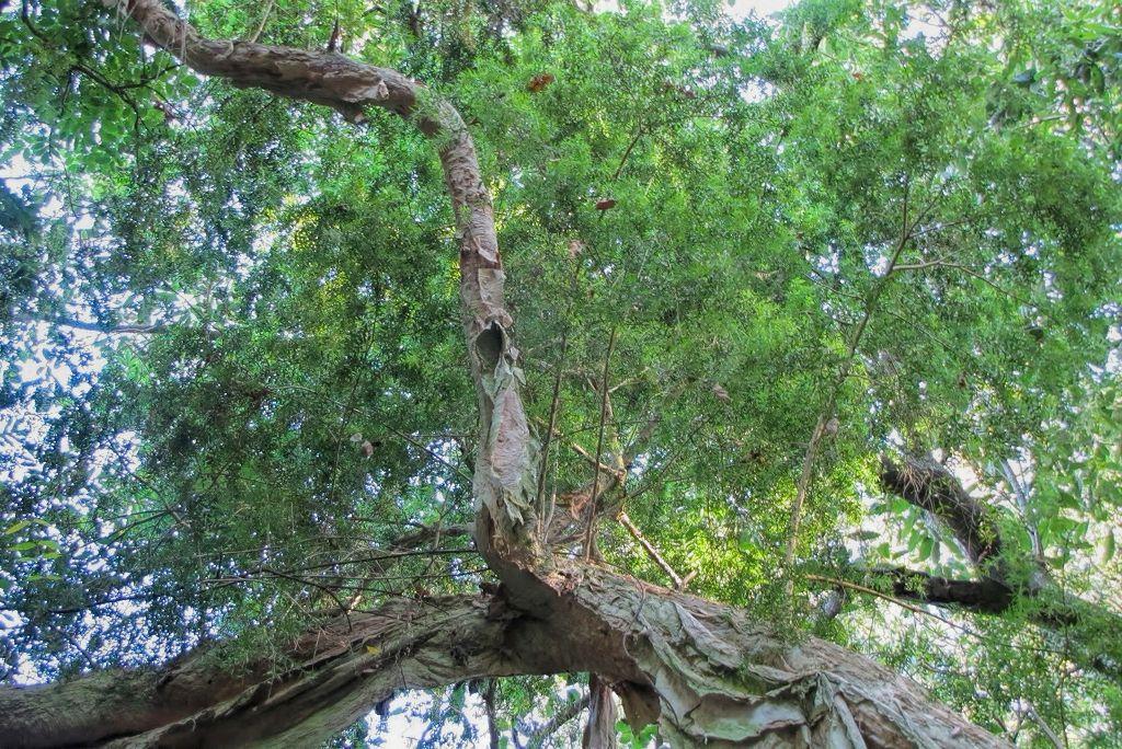 Melaleuca linarifolia-rq-20130914-1b.jpg