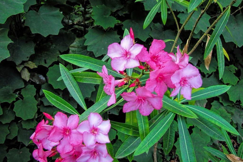 Nerium oleander-rq-20130915-1p.jpg