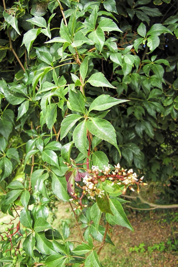 Parthenocissus quinquefolia-rq-20130915-1a.jpg