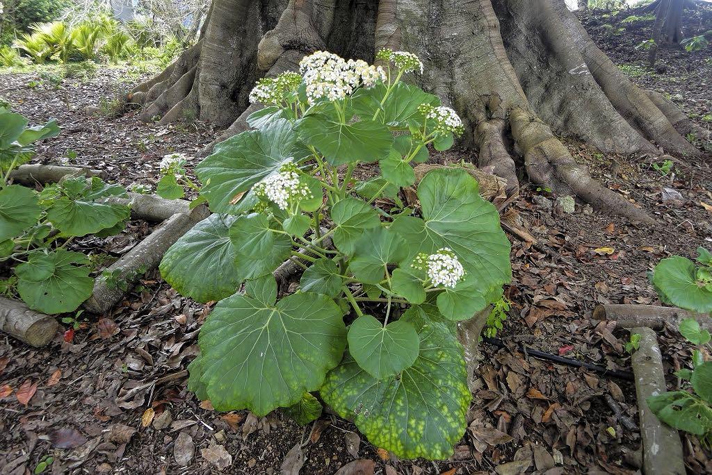 Pericallis malvifolia-rq-20140508-1b.jpg