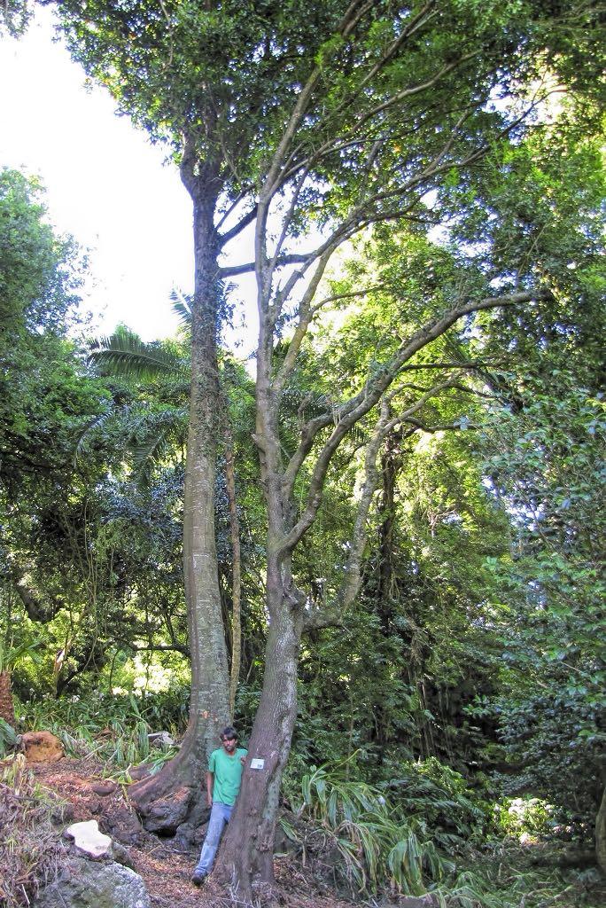 Picconia azorica-rq-20140617-1p.jpg