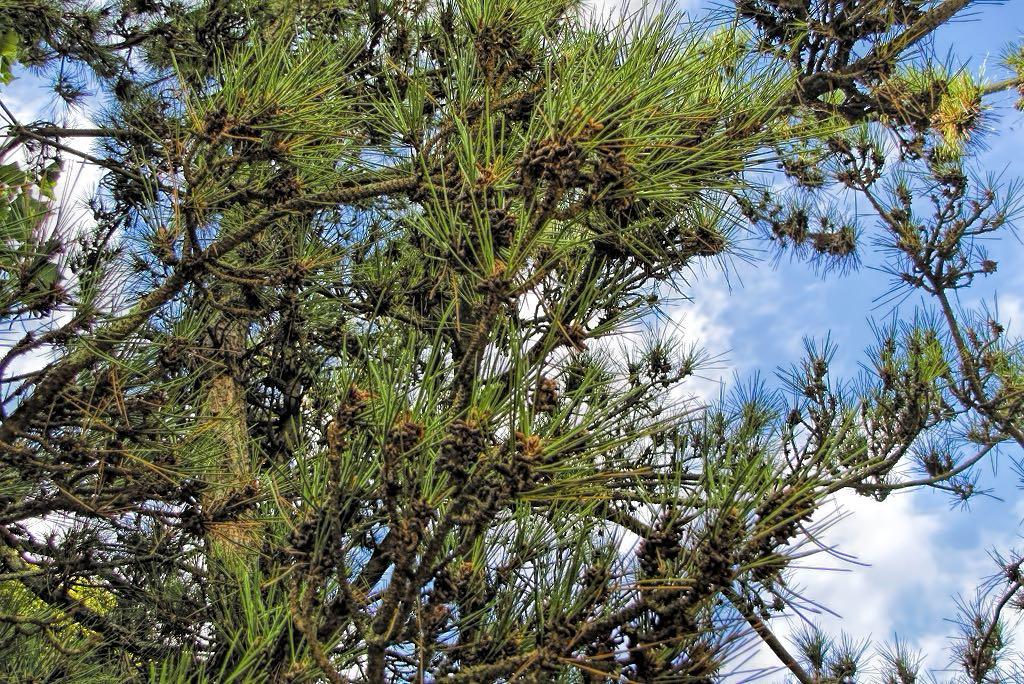 Pinus sylvestris-rq-20130914-1a.jpg