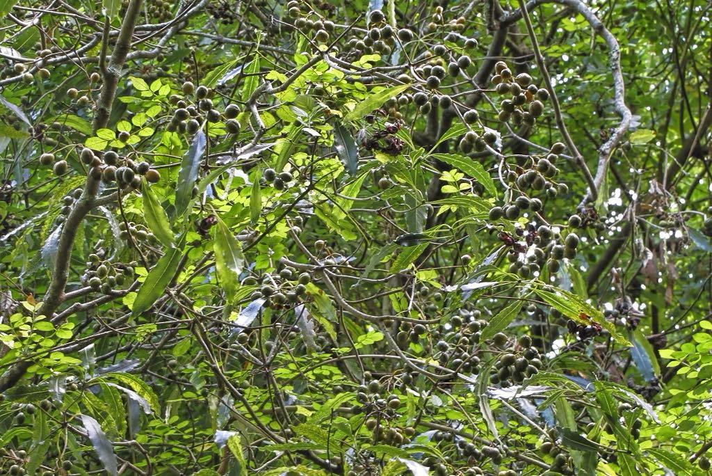 Pittosporum undulatum-rq-20130914-4a.jpg