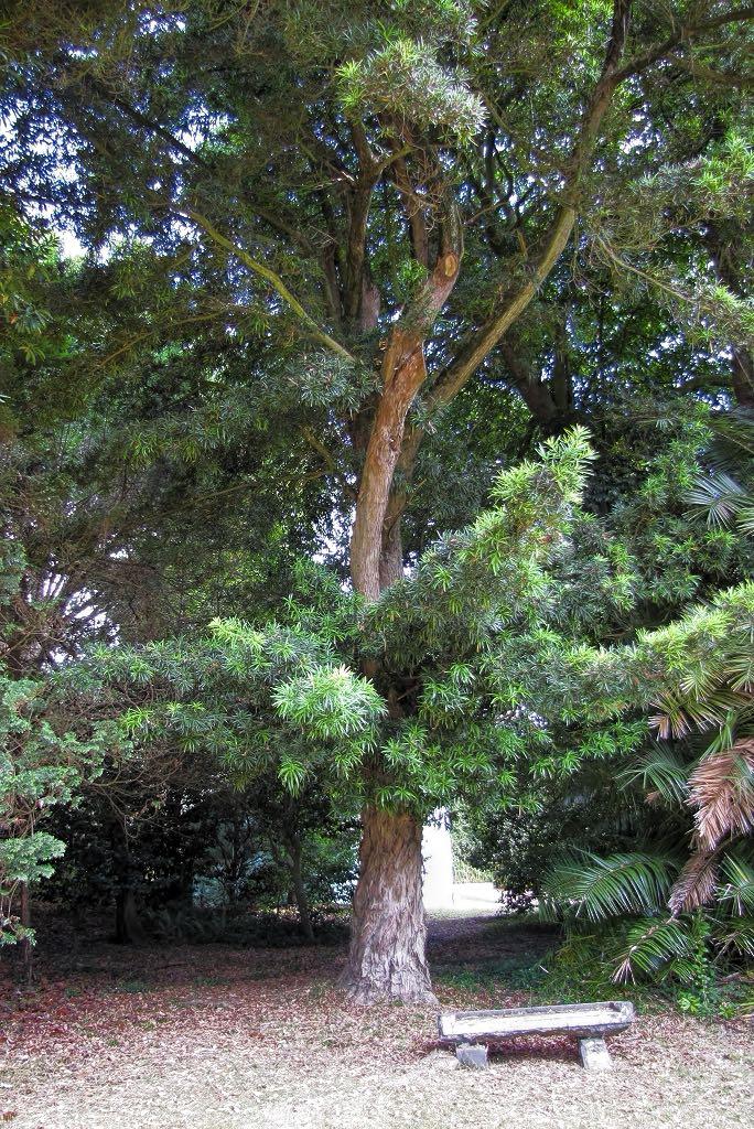 Podocarpus macrophyllus-rq-20130915-5a.jpg