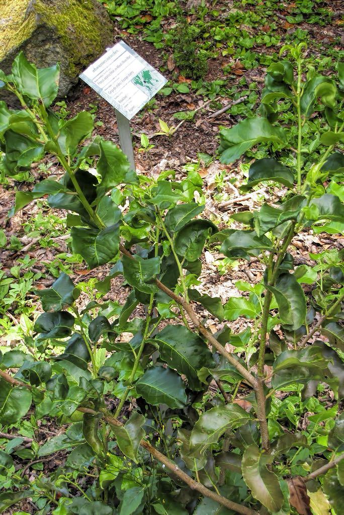 Prunus azorica-rq-20140611-1a.jpg