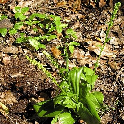 Platanthera micrantha