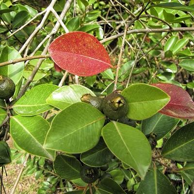 Psidium cattleianum