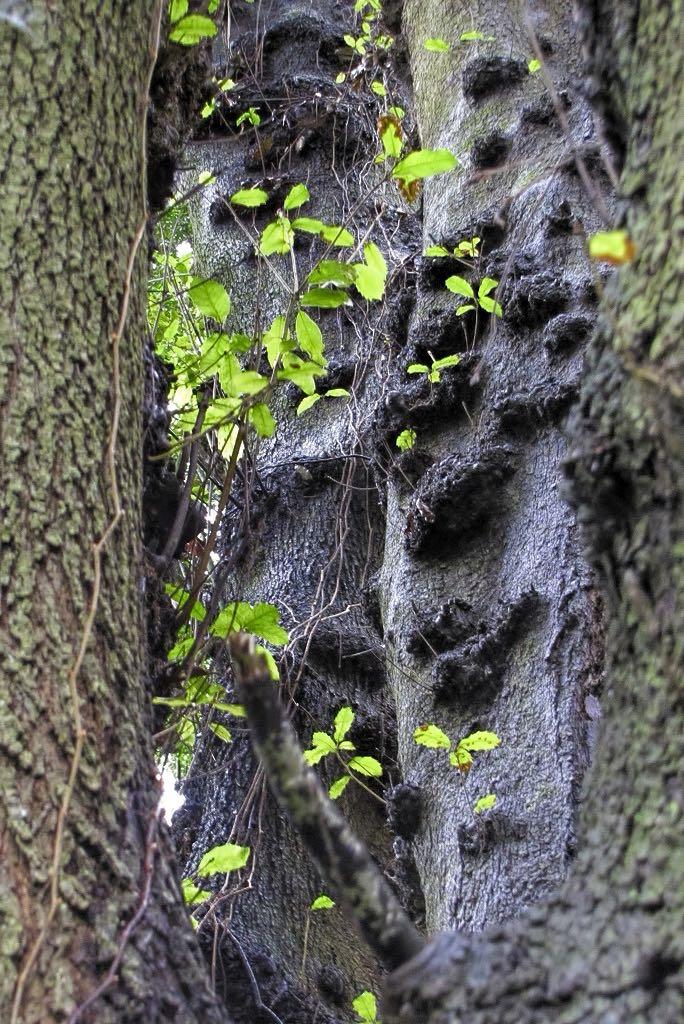 Quercus rotundifolia-rq-20140110-1d.jpg